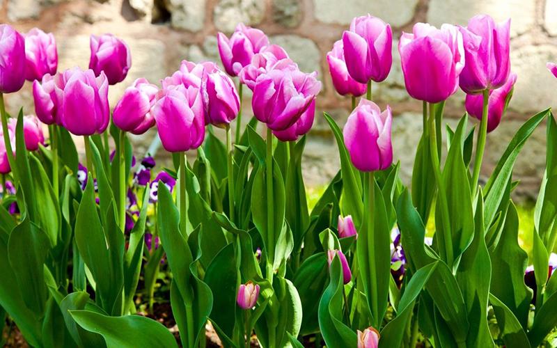 hoa-tulip-greenmore-5