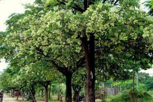 Cây xanh sân vườn phần 2 – Cây to bóng mát