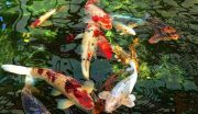 14+ Thiết kế sân vườn có hồ cá Koi tuyệt đẹp
